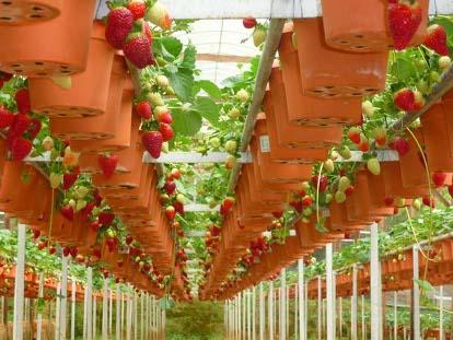 Выращивание клубники в